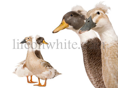 Close-up headshot of Male and Female Crested Ducks, 3 years old, standing in front of white background