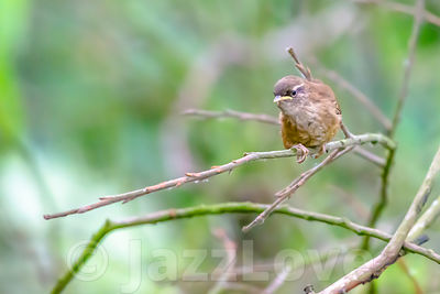 Wren perching on twig