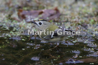 Goldcrest (Regulus regulus regulus) standing on vegetation in the garden pond, Lake District National Park, Cumbria, England
