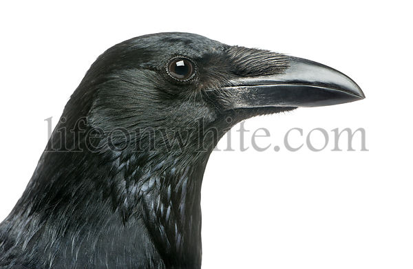 Close-up of a Carrion Crow\'s profile, Corvus corone, isolated on white