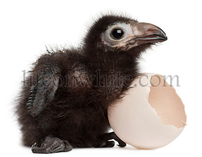 Ross\\'s Turaco, Musophaga rossae, with his hatched egg, 1 week old, in front of white background
