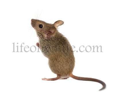 Wood mouse looking up in front of a white background