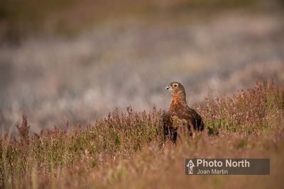 GROUSE 02A - Red grouse