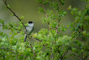 Blackcap in hawthorn bush - side view