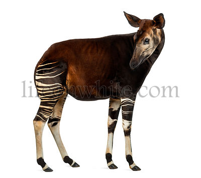 Side view of an Okapi standing, looking back, Okapia johnstoni, isolated on white