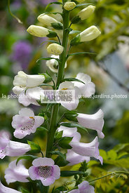 Digitalis 'Glory of Roundway', Paysagiste : Hay Joung Hwang, CFS, Angleterre