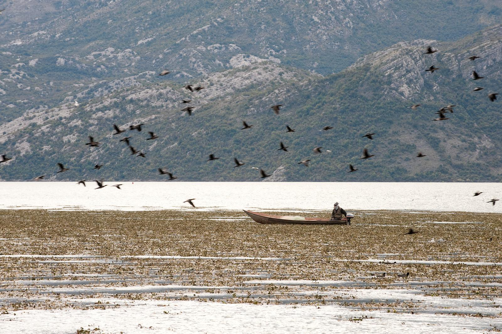 Pygmy cormorants and fishing boast, Lake Skadar National Park, Montenegro