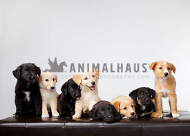 Mixed litter of eight shepherd mix puppies sits on a leather bench in the studio on a white background with room for text