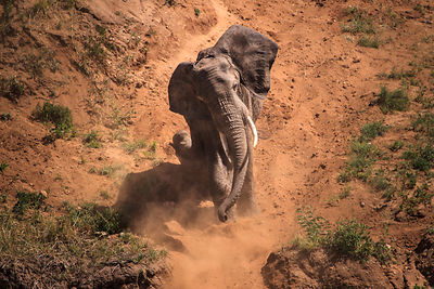 Dusty Elephant I