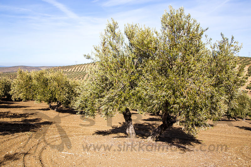 Olive plantations in Andalucia, Spain