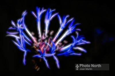 CORNFLOWER 50A - Cornflower abstract