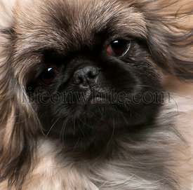 Close-up of Pekingese puppy, 6 months old