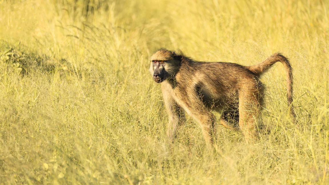 Baboon in High Grass