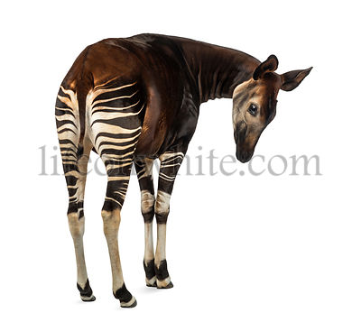Rear view of an Okapi, looking down attentively, Okapia johnstoni, isolated on white