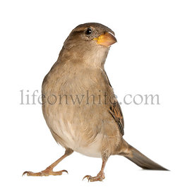 female House Sparrow - Passer domesticus (5 months old)