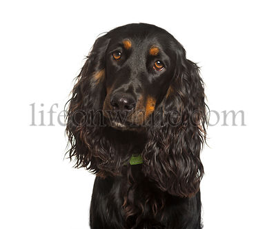 English Cocker Spaniel dog looking at camera against white background
