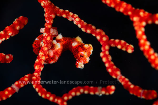 A pygmy seahorse father norel looking at me