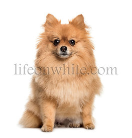 Pomeranian, 3 years old, sitting in front of white background