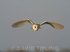 Barn Owl hunts over a meadow close to Holt North Norfolk in warm spring like weather UK
