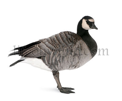 Mixed-Breed goose between Canada Goose and a Barnacle Goose in front of a white background, studio shot