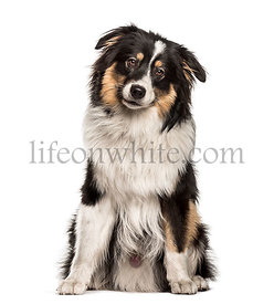 Australian Shepherd sitting against white background