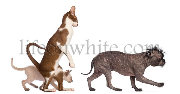 Adult Oriental Shorthair standing on hinds leg with kitten walking behind following crossbreed dog against white background