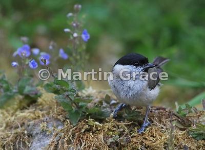 Marsh Tit (Poecile palustris) with speedwell in a Lake District National Park garden, Cumbria, England: alternative crop of t...