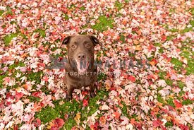 A happy chocolate lab surrounded by red maple leaves