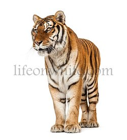 Tiger posing on a white background