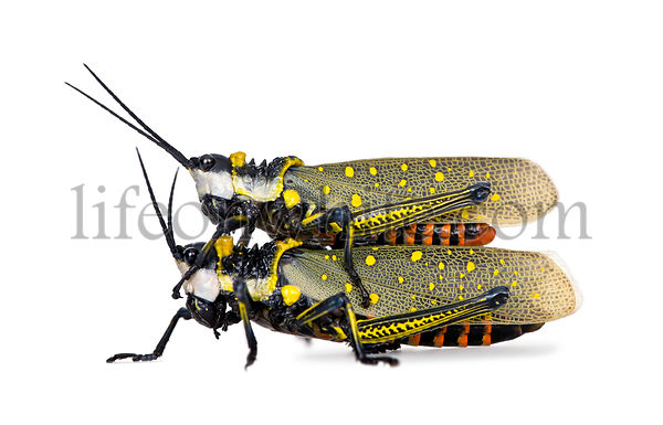 Male and Female Malaysian locust having sex, aurlarches milliaris, in front of white background, studio shot