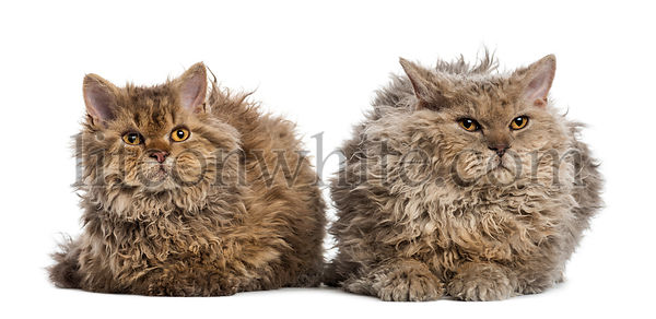 Front view of two Selkirk rex lying, isolated on white