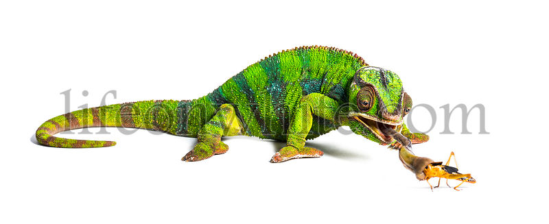 Panther chameleon, Furcifer pardalis, eating Migratory locust  in front of white background