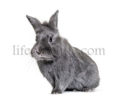 Grey young rabbit standing in front, isolated