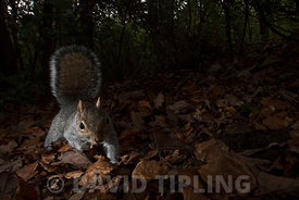 Grey Squirrel Sciurus carolinensis in woodland Kent