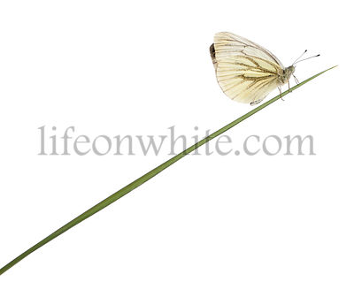 Green-veined White, Pieris napi, on grass in front of white background
