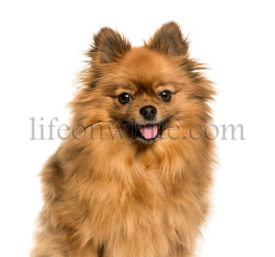 Keeshond against white background, isolated on white background