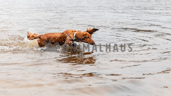A dachshund dog flying through the water