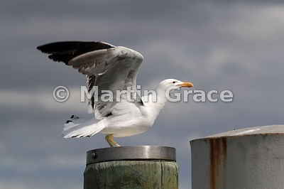 Southern Black-Backed Gull (Larus dominicanus dominicanus) about to take off from the pier at Rangitoto Island, Hauraki Gulf,...
