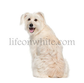 back view of a Pyrenean Shepherd, 2 years old, looking at the camera