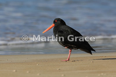 Dark morph Variable Oystercatcher (Black Oystercatcher) (Haematopus unicolor) resting on one leg on Otama Beach, Coromandel P...