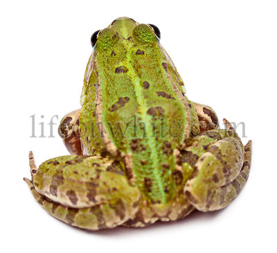 Common European frog or Edible Frog, Rana esculenta, in front of white background