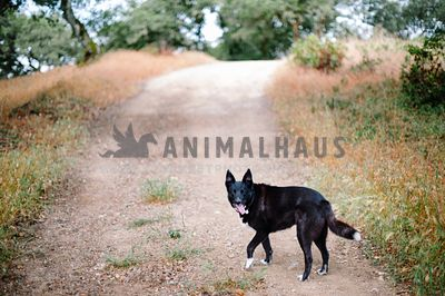 A black dog pauses to wait for her owner while walking down a dirt road
