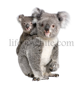 Portrait of Koala bears, 4 years old and 9 months old, Phascolarctos cinereus, in front of white background