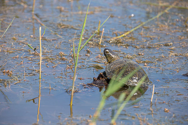 Cistude d'Europe (Emys orbicularis) / European pond turtle