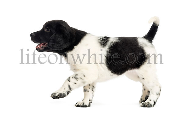 Side view of a Stabyhoun puppy walking happily, isolated on white