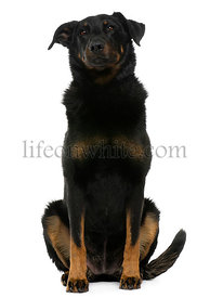 Beauceron, 8 years old, sitting in front of white background