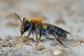 Closeup of a female a not so commonly found mining bee ,  Andrena mitis