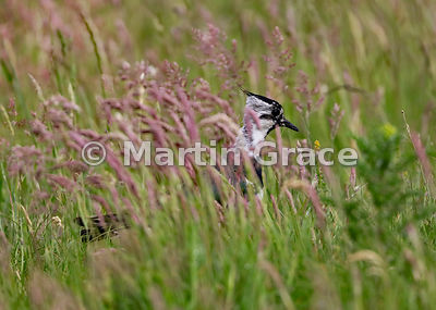 In The Pink: Northern Lapwing (Vanellus vanellus) among pink-headed meadow grasses, Badenoch & Strathspey, Scottish Highlands