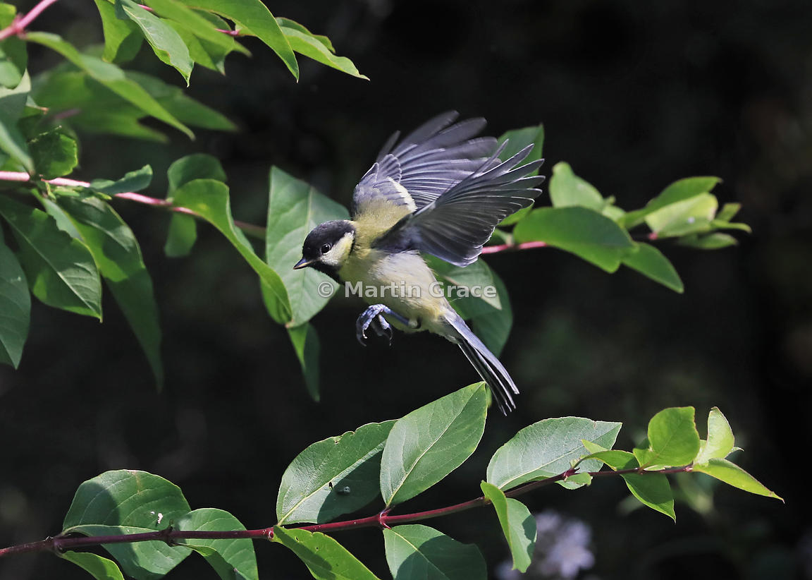 Great Tit juvenile (Parus major) in flight, Lake District National Park, Cumbria, England: an entirely natural light image