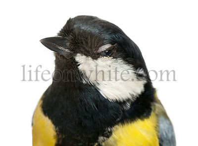 Close-up of a Male great tit winking, Parus major, isolated on white